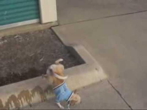 Doggy Fun - chien qui fait pipi a l'envers tête en bas cul en l'air