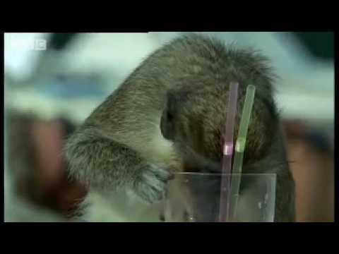 Alcoholic Vervet Monkeys! - Alcoholic Vervet Monkeys! - Weird Nature - BBC animals